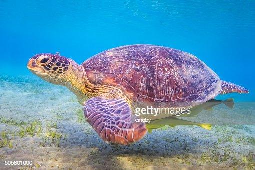 Green sea turtle on Red Sea / Marsa Alam / Egypt