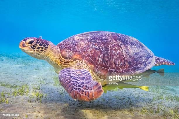 Grüne Meeresschildkröte auf Roten Meer/Marsa Alam/Ägypten