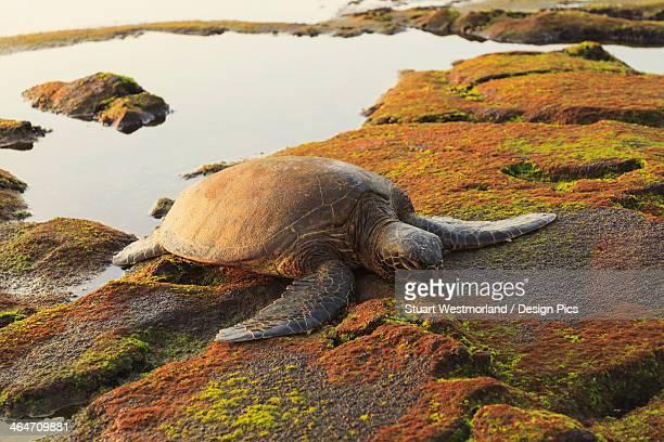 Green Sea Turtle (Chelonia Mydas) On Shore At Sunset Near Kona