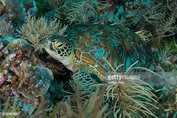 Green Sea Turtle or Hawksbill Sea Turtle - Palau, Micronesia