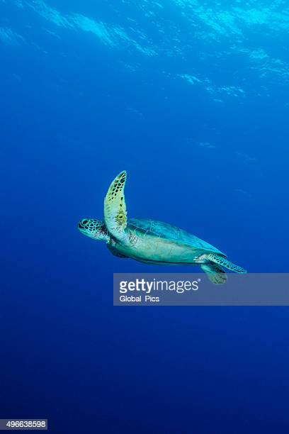 green turtle stock photos and pictures getty images