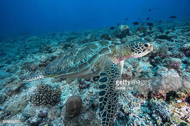 Green Sea Turtle - Palau, Micronesia