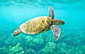 Hawaiian Green Sea Turtle swimming.