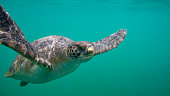 green sea turtle also known as