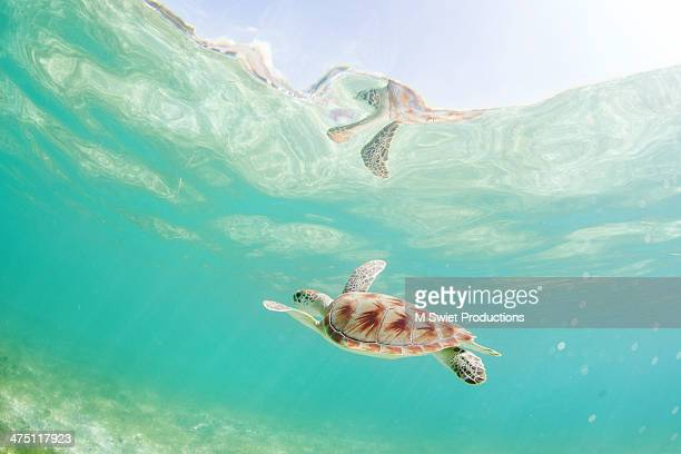 green sea turtle reflections