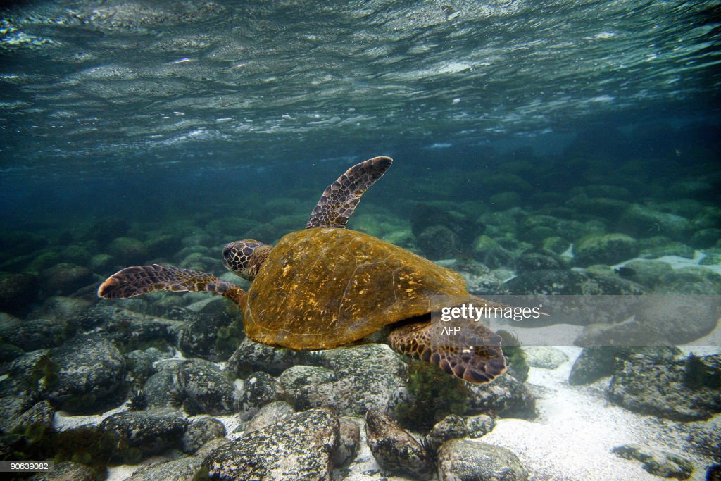 A Green sea turtle swims underwater in San Cristobal island Galapagos Archipelago on September 1 2009 AFP PHOTO/Pablo Cozzaglio