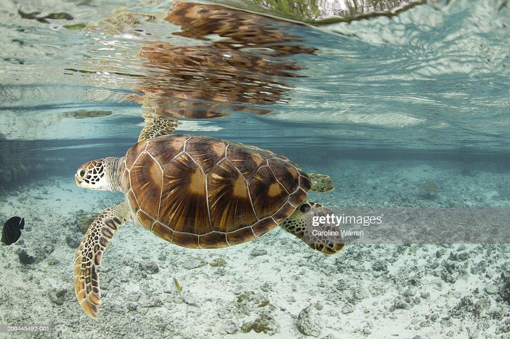 Green sea turtles (Chelonia mydas) in large lagoon : Stock Photo