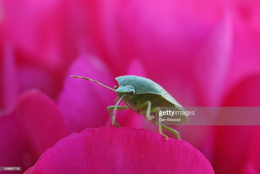 A Green Shield Bug walks on flowers in a garden in Brixton on October 10, 2012 in London, England. Many UK insects are struggling after a particularly wet and cold summer according to the wildlife charity 'The Buglife Conservation.'
