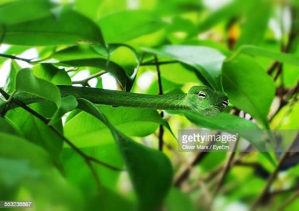 Green Snake On Tree In Forest