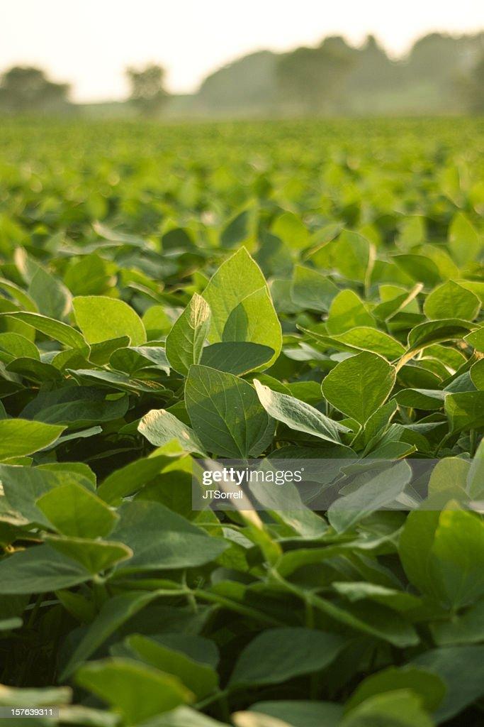Campo di fagioli di soia : Foto stock