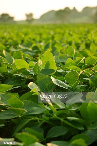 A green soy bean field in the sun