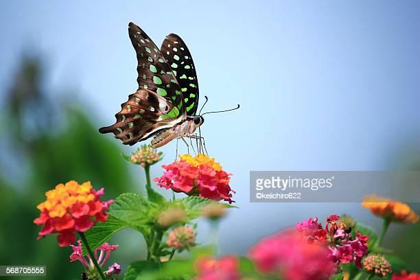 Green spot butterfly