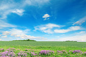 Green spring wheat field and blue sky. Copy space