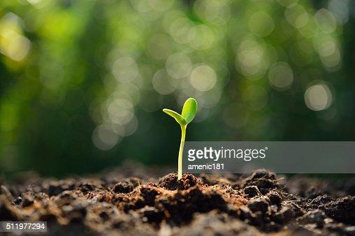 Couve-de-verde : Foto de stock