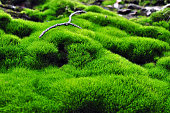 Tender green vegetation in the forest moss colonies