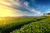 Green tea field in morning