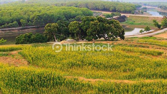 녹차 필드 플렌테이션 In Thailand 스톡 사진  Thinkstock