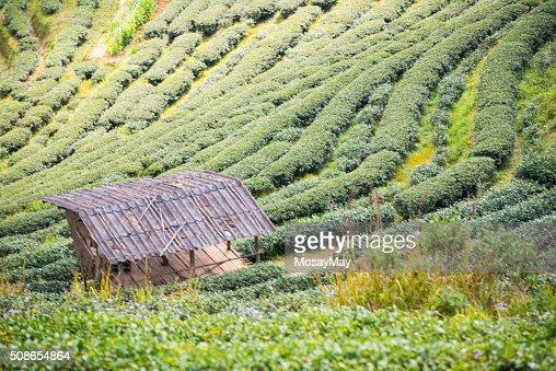 green tea plantation beautiful landscape in Chiang Mai : Stock Photo
