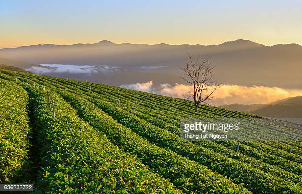 Green tea plantation in Caudat, Vietnam. About 1500m above sea level