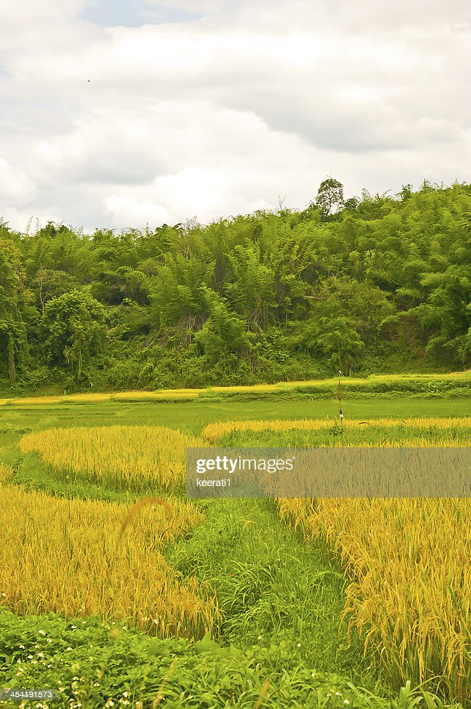 Green Terraced Rice Field : Stock Photo