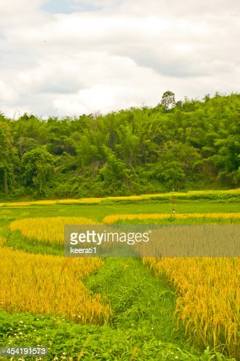 Verde campo di riso terrazzati : Foto stock