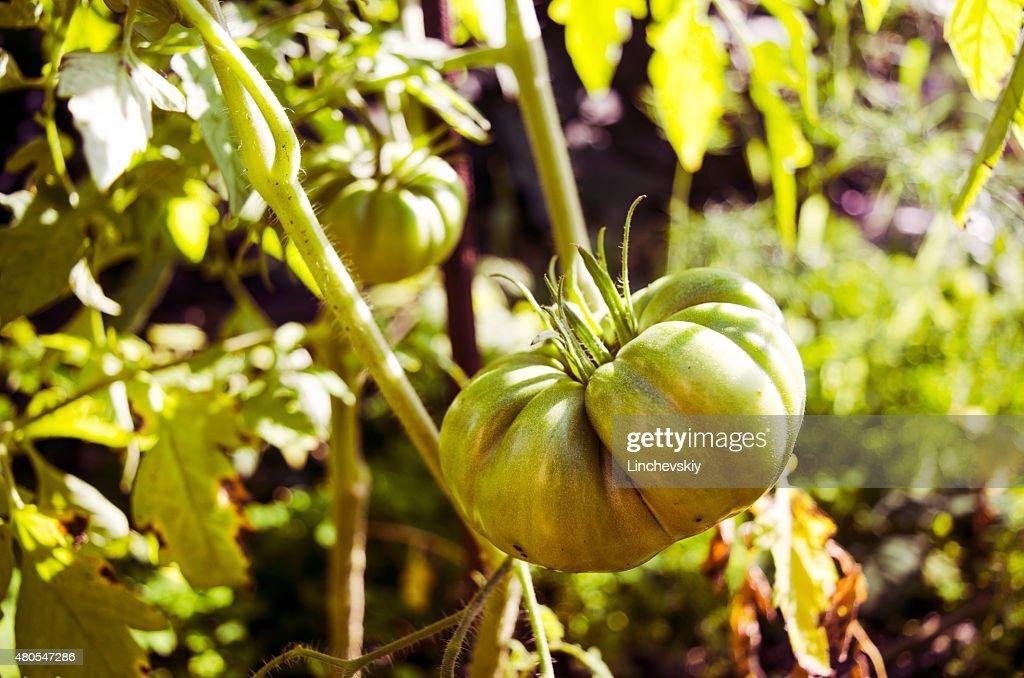 Grüne Tomaten. Landwirtschaft-Konzept. : Stock-Foto