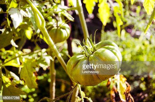 Tomate Verde. Conceito da Agricultura. : Foto de stock