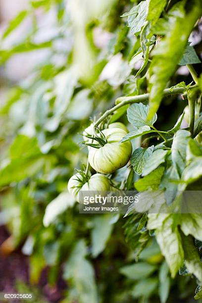 Green tomato growing