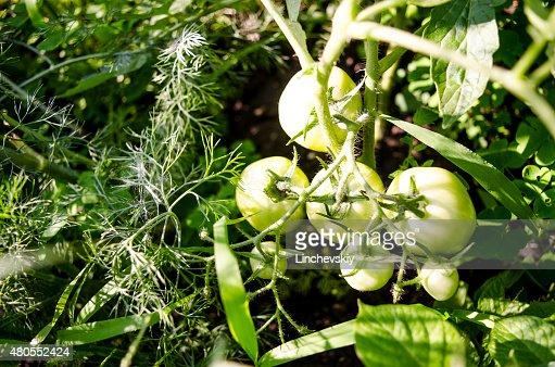Molho de Tomate Verde. Conceito da Agricultura. : Foto de stock