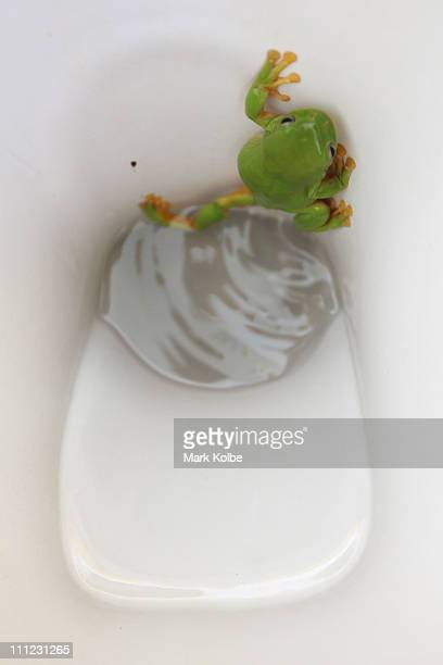 A green tree frog climbs in the toilet bowl of the old shearers quarters at Carisbrooke Station on March 27 2011 in Winton Australia Queensland...