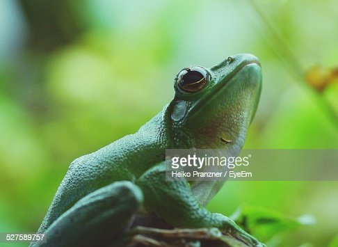 Green Tree Frog In Forest