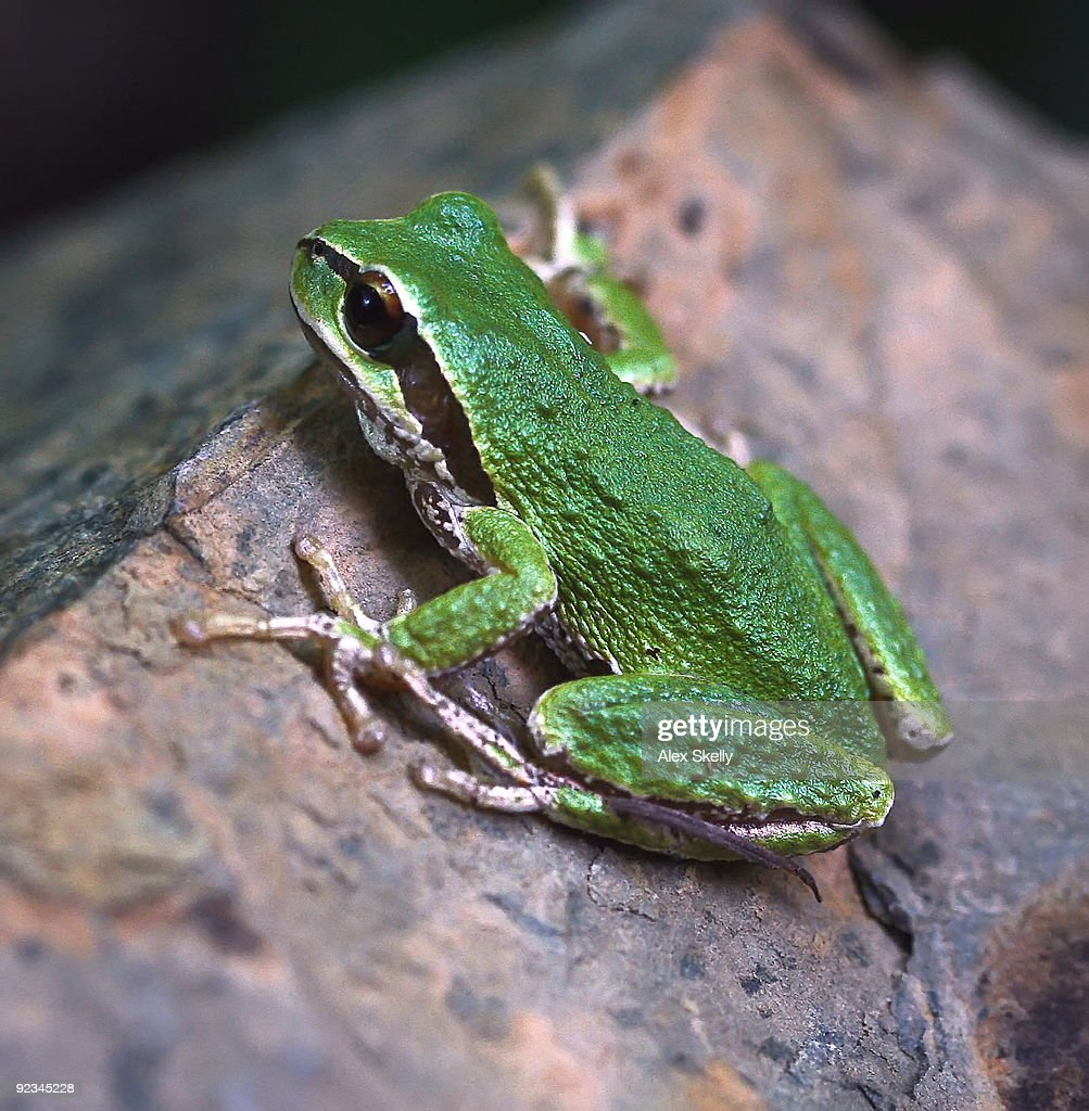 Green tree frog on a rock : Stock Photo