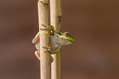 The European tree frog, Hyla arborea, formerly Rana arborea is a small tree frog found in Europe, Asia and part of Africa.