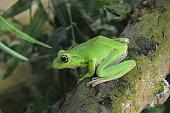 Green Tree Frog or Australian Tree Frog