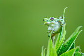Macro closeup of a small green tree frog on a flower