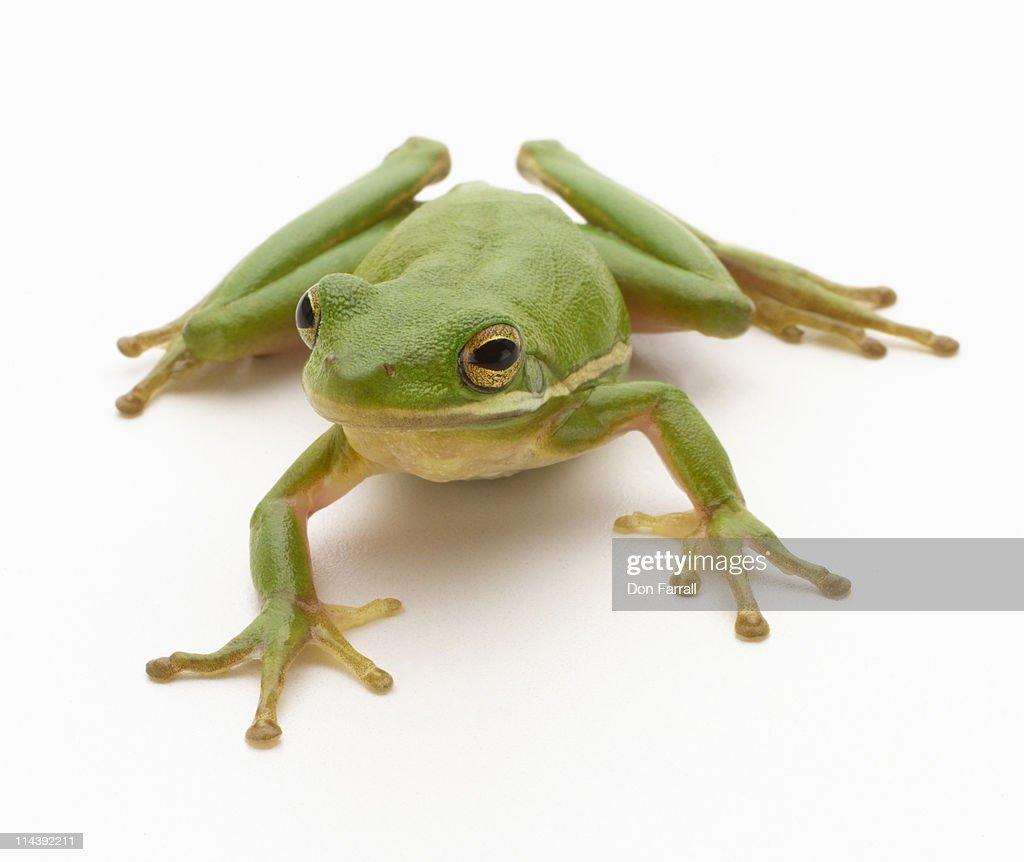 Green Tree Frog : Stock Photo