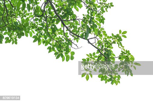 Green tree leaves and branches isolated on white background : Stock Photo