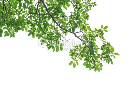 a56edecb9 Green Tree Leaves And Branches Isolated On White Background Stock ...
