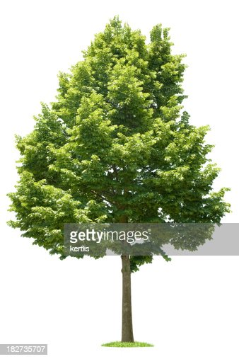 Árbol Verde sobre fondo blanco