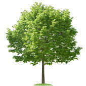 """""""Green Tree on white background (100% white, isolated)"""""""
