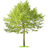 """""""Green Tree on white background, American linden (100% white, isolated)"""""""