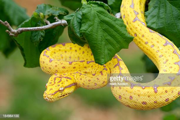 Green Tree Python (Juvenile) Ready To Strike