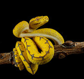 Green Tree Python ready to strike