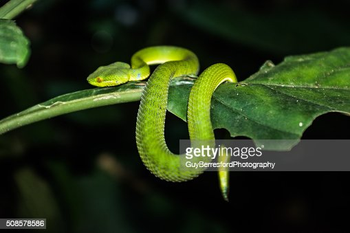 green tree viper on jungle trek : Bildbanksbilder