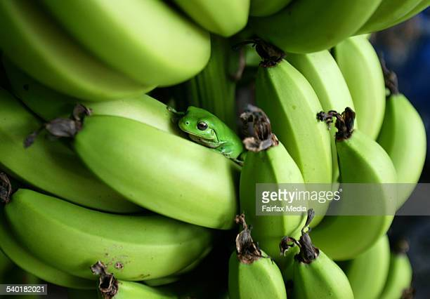 Green treefrog hidding in a bunch of bananas on a banana plantation at wamuran queensland