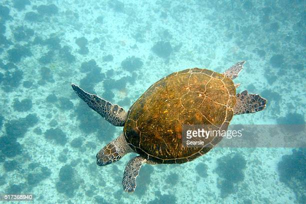 Green turtle and ocean floor