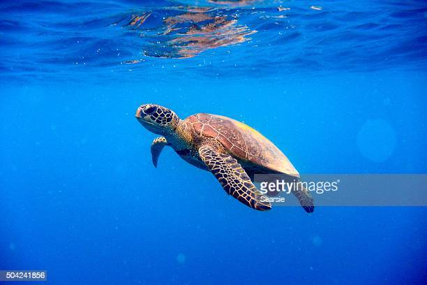 Green turtle approaching water surface