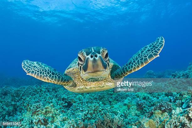 Green Turtle Chelonia mydas Maui Hawaii USA