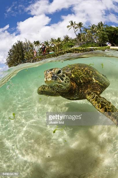 Green Turtle Chelonia mydas Oahu Pacific Ocean Hawaii USA