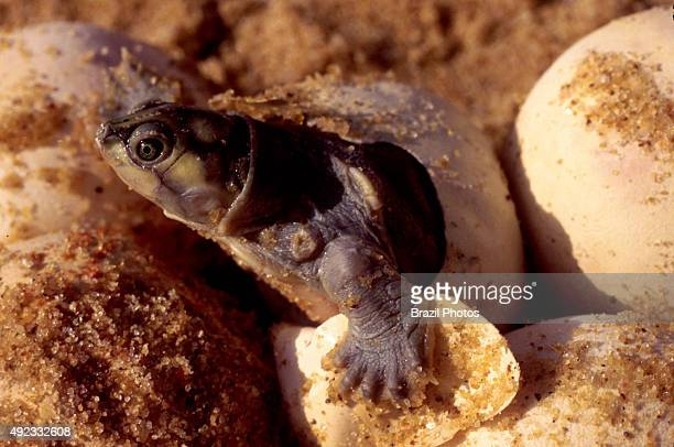 Green turtle hatching from the egg in Roraima State Amazon rainforest Brazil